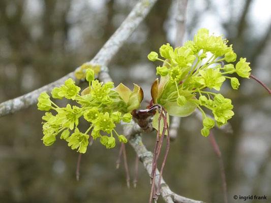 Acer spec. / Ahorn-Arten