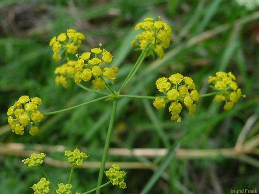 Bupleurum falcatum - Sichel-Hasenohr