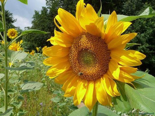 Helianthus annuus - Gewöhnliche Sonnenblume