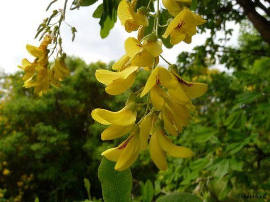 Laburnum anagryoides - Gewöhnlicher Goldregen    V-VI