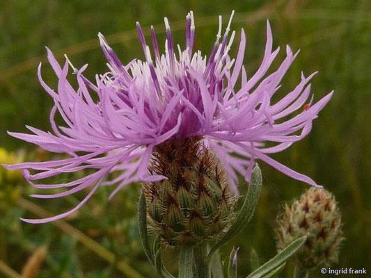 Centaurea stoebe - Gefleckte Flockenblume  (VII-IX