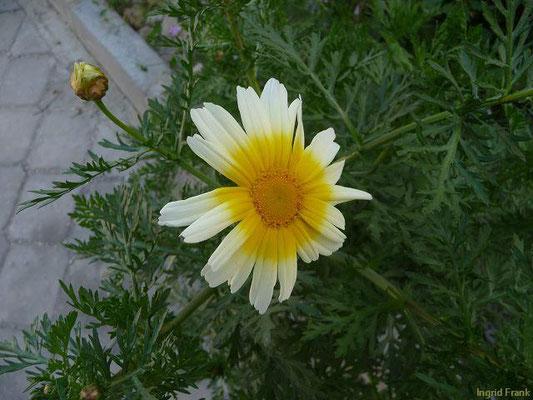 Glebionis coronaria - Kronen-Wucherblume (Türkei)