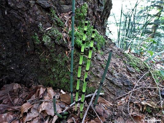 Equisetum hyemale / Winter-Schachtelhalm