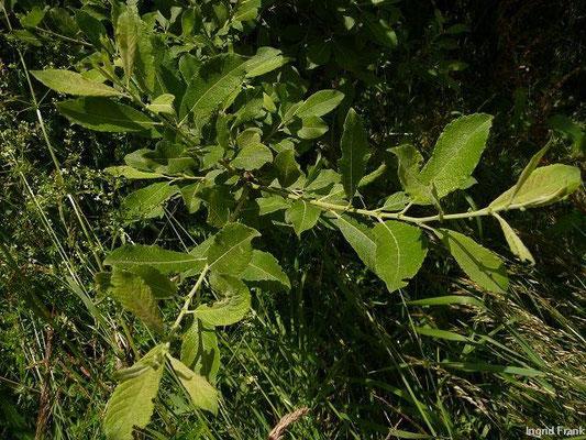 Salix cinerea - Grau-Weide