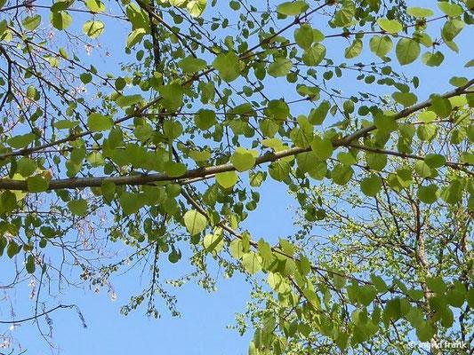 Cercidiphyllum japonicum - Japanischer Katsurabaum