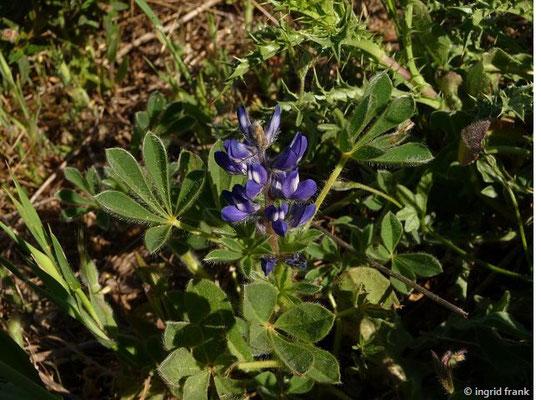 Lupinus micranthus - Kleinblütige Lupine