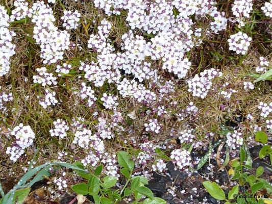Lobularia canariensis ssp. palmensis - Kanaren-Silberkraut