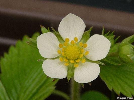 04.05.2015 - Fragaria vesca - Wald-Erdbeere