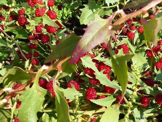 Chenopodium foliosum - Durchblätterter Erdbeerspinat