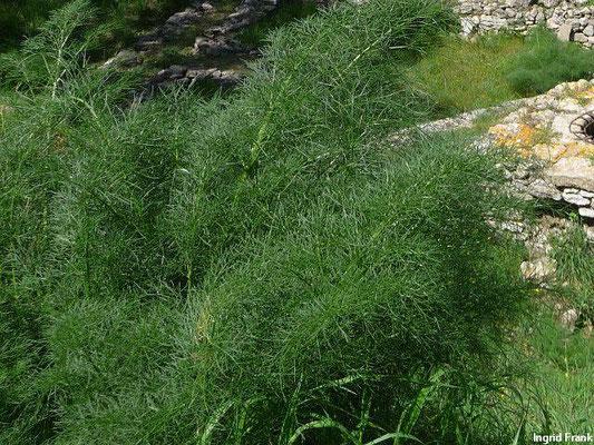 Foeniculum vulgare / Fenchel  (Türkei, Troja)