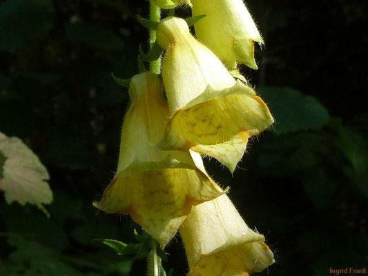 Digitalis grandiflora - Großblütiger Gelber Fingerhut