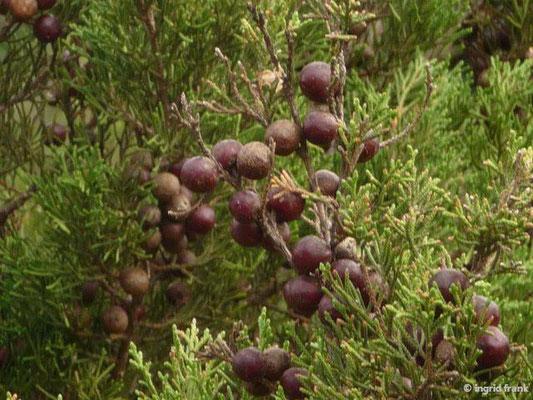 Juniperus turbinata - Kanaren-Wacholder    II-IV