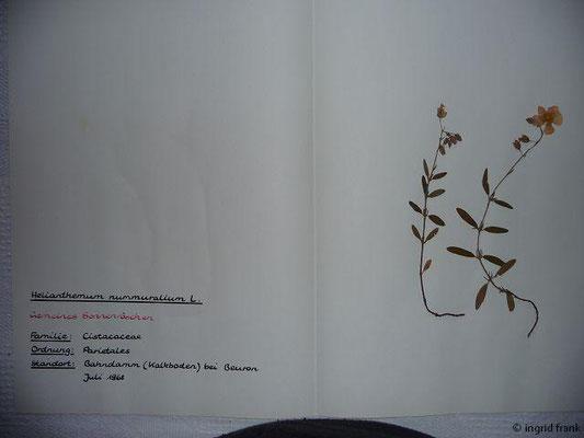 (49) Helianthemum nummularium - Gemeines Sonnenröschen