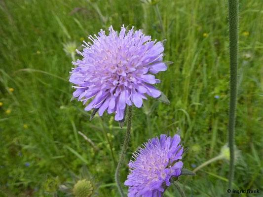 Knautia arvensis - Acker-Witwenblume
