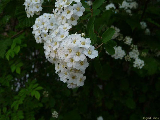 29.04.2011-Spiraea chamaedryfolia - Ulmen-Spierstrauch