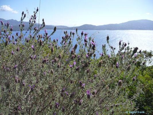 Lavandula stoechas - Schopf-Lavendel
