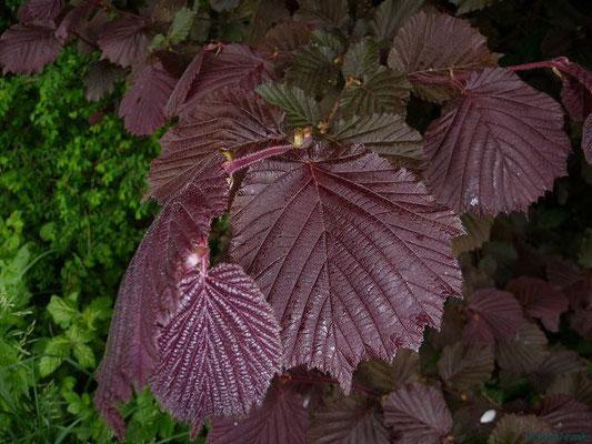 19.05.2010-Fagus sylvatica purpurea - Blutbuche
