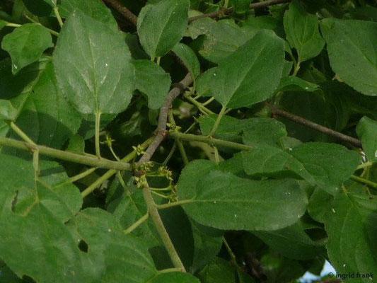 Rhamnus cathartica - Purgier-Kreuzdorn