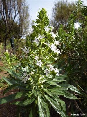 Echium decaisnei - Decaisne-Natternkopf    II-VI