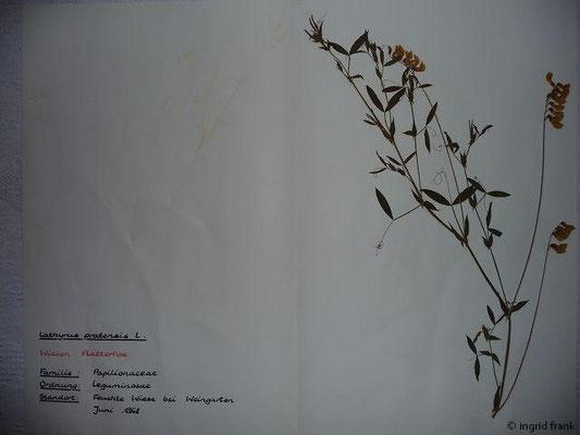 (41) Lathyrus pratensis - Wiesen-Platterbse