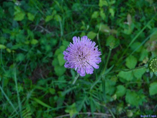 Knautia arvensis / Acker-Witwenblume