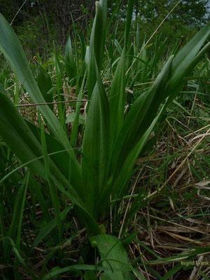 16.05.2010-Colchicum autumnale - Herbstzeitlose