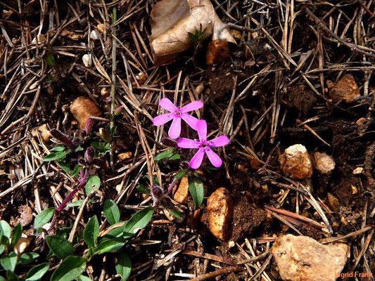 Saponaria ocymoides / Rotes Seifenkraut