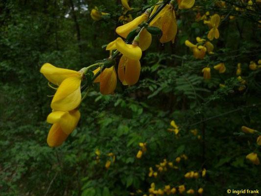 Cytisus scoparius - Gewöhnlicher Besenginster
