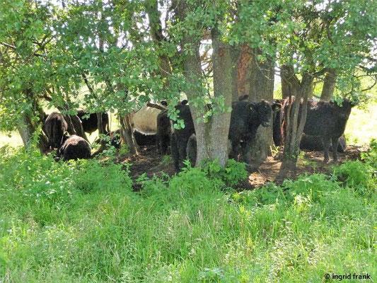 Die Galloway-Rinder suchen auch den Schatten