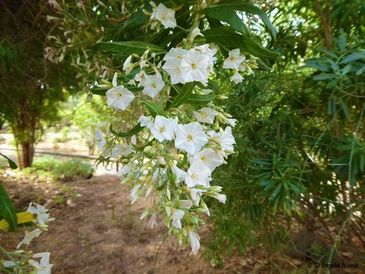 Solanum laxum - Jasmin-Nachtschatten