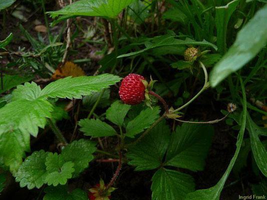 27.05.2011 - Wald-Erdbeere / Fragaria vesca (Wildobst)
