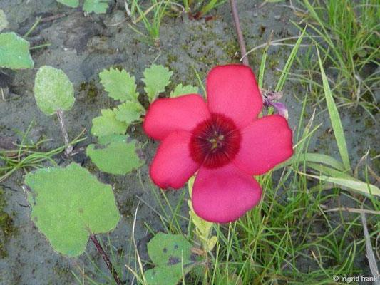 Linum grandiflorum - Roter Lein, Pracht-Lein