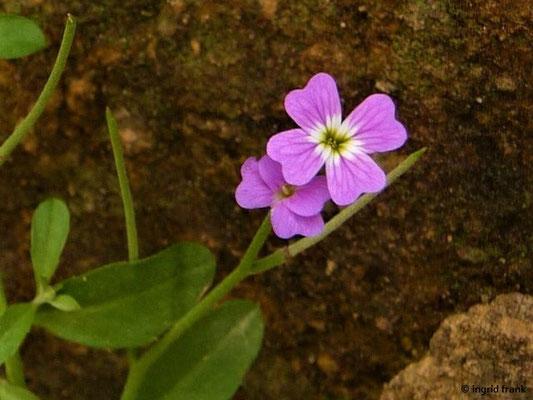 Malcolmia flexuosa - Gebogene Malcolmie    II-IV