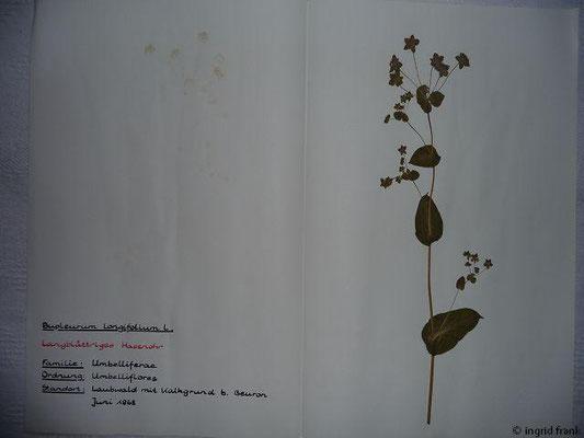 (62) Bupleurum longifolium - Langblättriges Hasenohr