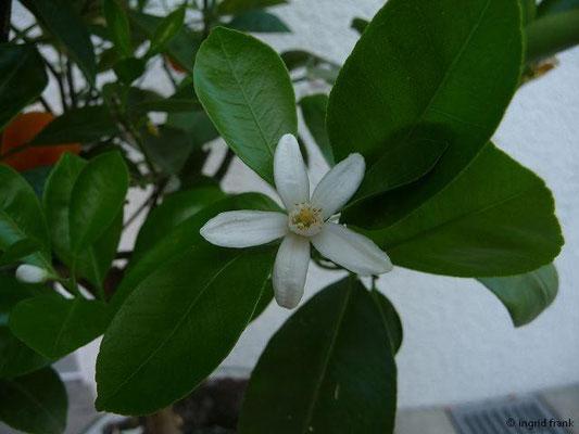 15.09.2011-Citrus reticulata - Mandarine (Kübelpflanze)