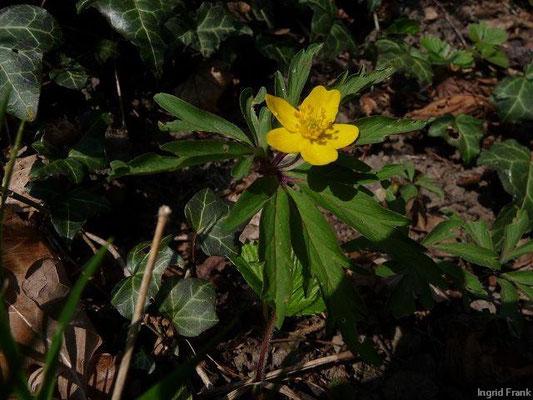 08.04.2010-Anemone ranunculoides - Gelbes Windröschen (zwischen Lindau und Bregenz)