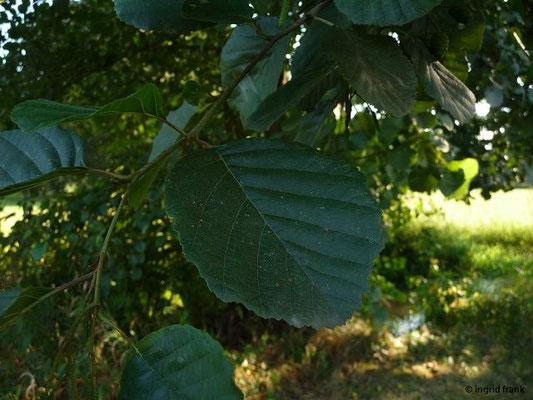 Alnus glutinosa / Schwarz-Erle
