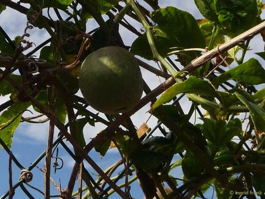 Passiflora edulis - Passionsfrucht
