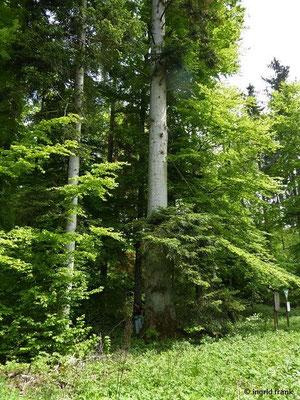 Abies alba - Weiß-Tanne