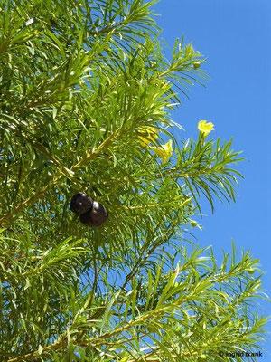 Cascabela peruviana - Gelber Oleander, Schellenbaum (Gran Canaria / Heimat: Tropisches Amerika)