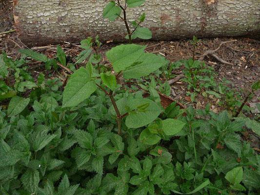 Japanischer Staudenknöterich / Reynoutria japonica -     (VIII-IX)