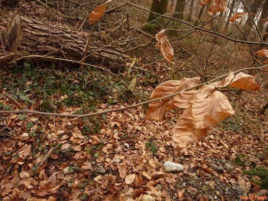 04.03.2012-Fagus sylatica - Rotbuche