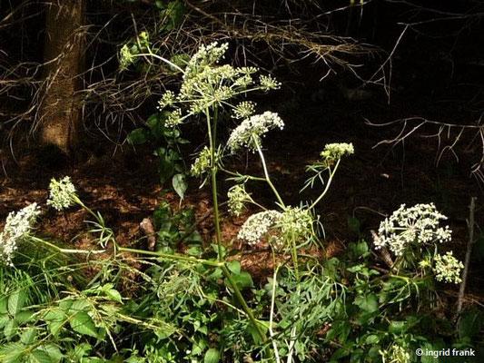 Peucedanum palustre - Sumpf-Haarstrang