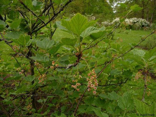 Ribes petraeum / Felsen-Johannisbeere (Botanischer Garten Berlein)