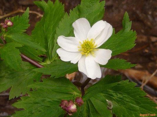 Ranunculus aconitifolius / Eisenhutblättriger Hahnenfuß
