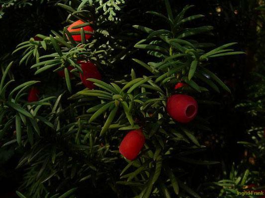 GIFTIG, NUR SAMENMANTEL GIFTFREI: Eibe / Taxus baccata   ( 05.10.2012