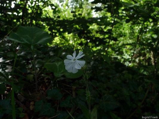 Silene latifolia - Weiße Lichtnelke, Weiße Nachtnelke
