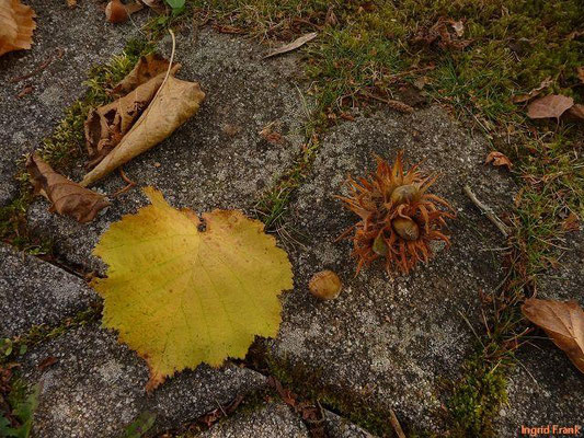 Corylus colurna - Baum-Hasel