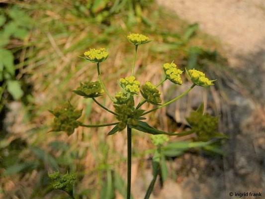 Bupleurum falcatum - Sichelblättriges Hasenohr