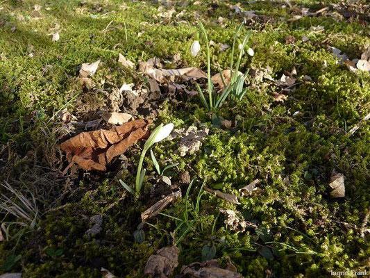 08.02.2011-Galanthus nivalis - Kleines Schneeglöckchen